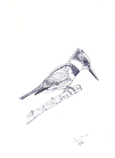 ../../images/drawings/sketches/beltedKingfisher.png